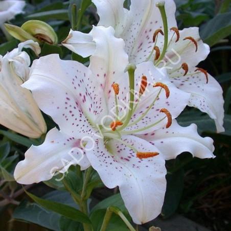 Лилия купить пятигорск цветы оригинальный подарок на день рождения маме на юбилей